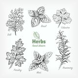 Culinary herbs vector hand drawn illustration Stock Images