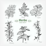 Culinary herbs vector hand drawn illustration Stock Image