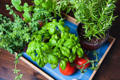 Culinary plants growing in pots Stock Photo