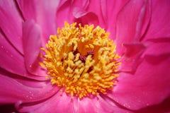 Culla del fiore di vita con i pestils gialli fotografia stock libera da diritti