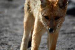 Culpeo或安地斯山的狐狸 El Tatio喷泉领域 安托法加斯塔地区 智利 免版税库存图片