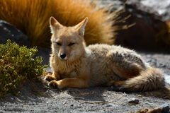 Culpeo或安地斯山的狐狸 El Tatio喷泉领域 安托法加斯塔地区 智利 库存图片