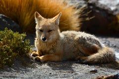 Culpeo eller andean räv Geysersfält för El Tatio Antofagasta region chile Fotografering för Bildbyråer