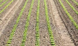 cultivé aux champs avec de la laitue tire l'élevage dans le sol arénacé Photos libres de droits