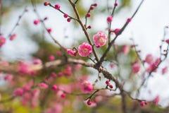 Cultiva un huerto durante la flor de cerezo adentro, Yokohama, Tokio, Japón Fotos de archivo libres de regalías