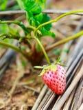 Cultivación de la opinión del primer de las fresas Foto de archivo libre de regalías