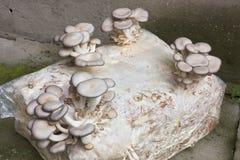 Cultivación de la seta de ostra Imágenes de archivo libres de regalías