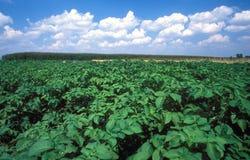 Cultivación de patatas Imagenes de archivo