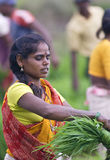 Cultivación del arroz Imagenes de archivo