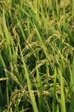 Cultivación del arroz Imágenes de archivo libres de regalías
