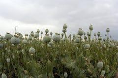 Cultivación del opio Imágenes de archivo libres de regalías
