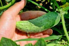 Cultivación del pepino Foto de archivo libre de regalías