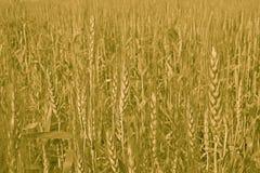 Cultivación y cultivo del trigo Foto de archivo libre de regalías