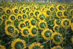 Cultivación de la flor de Sun, la India del norte Imágenes de archivo libres de regalías
