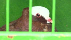Cultivador moravian na exposição em República Checa, pombo decorativo da pega do pombo da raça filme