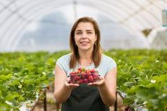 Cultivadores da morango com colheita, coordenador agrícola que trabalha dentro Fotos de Stock