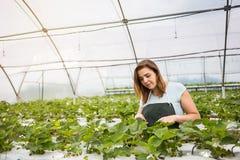 Cultivadores da morango com colheita, coordenador agrícola que trabalha dentro Imagem de Stock Royalty Free