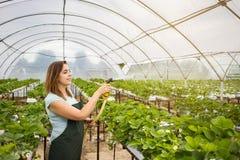 Cultivadores da morango com colheita, coordenador agrícola que trabalha dentro Imagens de Stock Royalty Free