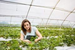 Cultivadores da morango com colheita, coordenador agrícola que trabalha dentro Fotografia de Stock