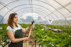 Cultivadores da morango com colheita, coordenador agrícola que trabalha dentro Fotos de Stock Royalty Free