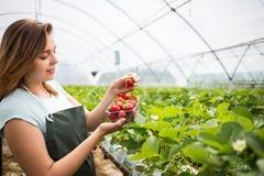 Cultivadores da morango com colheita, coordenador agrícola que trabalha dentro Foto de Stock Royalty Free
