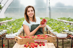 Cultivadores da morango com colheita, coordenador agrícola que trabalha dentro Foto de Stock