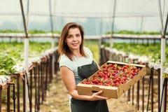 Cultivadores da morango com colheita, coordenador agrícola que trabalha dentro Imagem de Stock