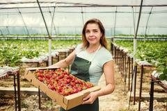 Cultivadores da morango com colheita, coordenador agrícola que trabalha dentro Imagens de Stock