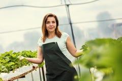 Cultivadores da morango com colheita, coordenador agrícola que trabalha dentro Fotografia de Stock Royalty Free