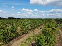 Cultivadores de la uva - viñedos y vid imagen de archivo libre de regalías