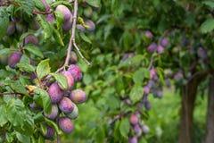 Cultivando ameixas na árvore Foto de Stock Royalty Free