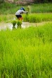 Cultivando o arroz em Tailândia. Imagem de Stock Royalty Free