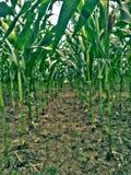 Cultivando o milho Fotos de Stock
