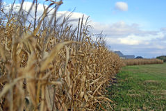 Cultivando um campo de milho Fotografia de Stock