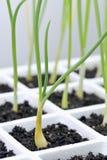Cultivando un huerto, cebolla, trasplantes del cepa del allium Imagenes de archivo