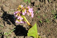 Cultivar badan (Bergenia crassifolia) flower Stock Images