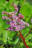 Cultivar badan flowers Royalty Free Stock Images