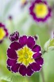 Cultivar di fioritura della primaverina immagine stock