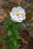 cultivar floribunda góra lodowa róży biel zdjęcia stock