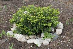 Cultivar impeccable nain dans le jardin de roche image stock