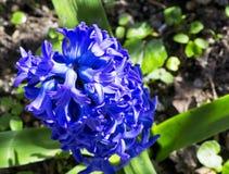 Cultivar van purpere bloemen van Hyacinthus-orientalis in een tuin stock foto