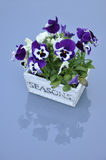 cultivarviola Royaltyfri Bild