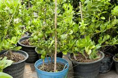Cultivate bergamot tree in plastic pot. Tree market. agriculture. Market royalty free stock photo