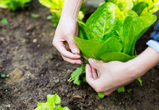 Cultivate lettuce Stock Photo
