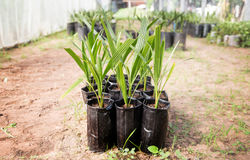 Cultivate plant for garden. Close up date palm in black plastic bag for cultivate race of plant for make good product stock image
