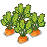 Cultivate tasty carrot. Vector vegetable. On a white background Stock Image