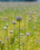 Cultivated Allium flowering plants Royalty Free Stock Images