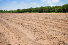Cultivated area Cassava Royalty Free Stock Photos