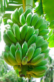 Cultivated banana. Green banana hanging on a branch of a banana tree stock images
