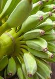 Cultivated banana, bunch of green bananas. Stock Photos